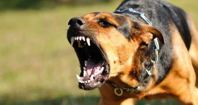 Vicious dog attacking